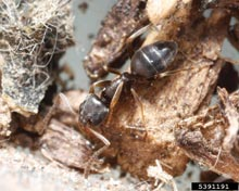 Odorous Ant on Wood